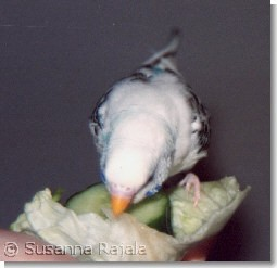 Nicke eating salad and cucumber